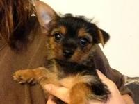 I have a little female Yorkie that needs a great home.