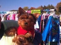 Akc Female yorkie 11wks crate experienced, potty pad