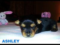 This is Ashley..Sire is a 5 lbs & A.K.C. Bl & Gld and