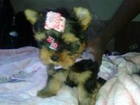 we are in las vegas female yorkie super super tiny baby