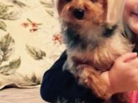 6-year-old female Yorkshire Terrier needs a loving home
