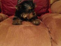 Hi There I AM A LITTLE AKC FEMALE YORKIE CHAMPION