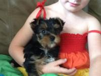 Female Yorkie...only child. She will be ready to go