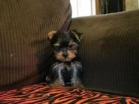 Female Akc Yorkie born April 5,2015. Mom is 6lbs tan