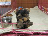I AM A VERY TINY AKC YORKIE FEMALE . I WAS BORN