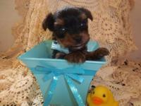 AKC Double Champion Line Tiny Teacup Yorkie Female.