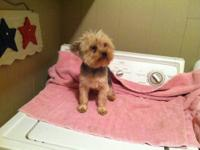 Teacup beautiful female Yorkie for sale. Will be ready