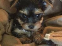 AKC females yorkies pet price $1000 or best offer utd