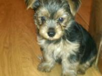 We have cute yorkie puppy for sale-girl 550.$. First