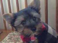 I have a Akc Male Yorkie He is 14 wks old. He is going