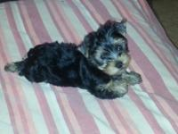 AKC Yorkie male. 8 weeks. Dewormed and very first