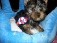Sweet and clever yorkie boy. All set for his forever