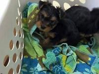One gorgeous AKC male yorkie young puppy prepared to go