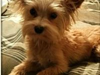 Romeo is a very energetic 11 month old male Yorkie and