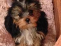 HELLO IAM A LITTLE AKC YORKIE MALE. MY BIRITHDAY IS