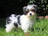 LOOK at this cute bundle of fur. AKC yorkie male 3