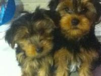 I have only 1 left akc Yorkie pups born October 1, 2014