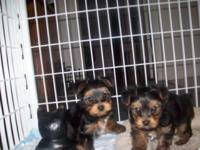 I have 2 male akc yorkie puppys come with akc paper