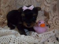 AKC Double Champion Line Tiny Teacup Yorkie Puppy. Born