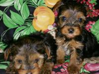 I have 2 handsome Yorkie males. They will be very small