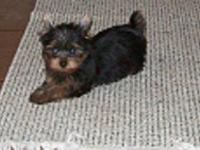 AKC registered Yorkie Male. He was born on July 8,