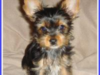 Handsome Parti Carrier Male Yorkie Puppy. This little