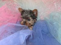 Akc Yorkie Dob Nov 20,2012 Rosey has had her tail