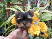 These adorable Yorkie puppies are adorable! Black and