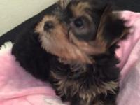 akc yorkie puppies are here !!!!-one female-two