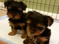 Two AKC registered Yorkshire Puppies ready to go to a