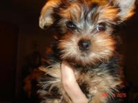 I have 3 Yorkie AKC puppies for sale. Soooo cute.