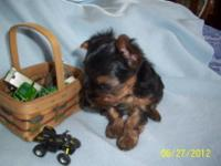 Adorable yorkie babies. 1 female & 2 males. Both
