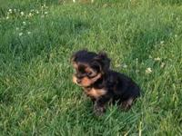 I have 2 litters of AKC Yorkie Puppies available.