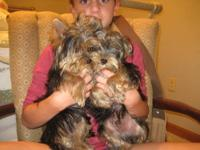 Two males and one female Yorkie Puppies looking for