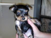 UPDATED OCTOBER 30 2012 Yorkies: We have puppies from 3