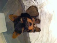 AKC Yorkshire terriers are weaned and ready for their