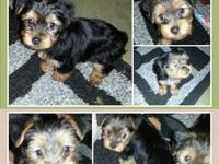 ADORABLE AKC Yorkie Puppies will be looking for their