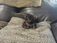 yorkie puppies 10 weeks old and they are all set for