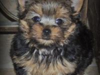 AKC Registered Yorkshire Terrier Puppies, Adult weight