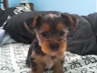 YORKIE 2 males and 3 females will be ready for their