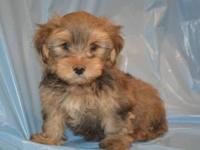 7 AKC Yorkie Puppies $800.00. We are a household owned