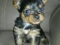 AKC Yorkie Puppies. I have 3 male puppies that are $600