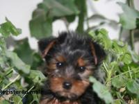 AKC Yorkie Puppies for sale 2 male 1 female.1