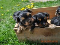 AKC Yorkie Puppies, born March 17, 2015. First shots