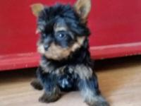 I have four beautiful AKC puppies avalible 3 girls and