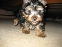Beautiful AKC Yorkie puppies Sire is small and DNA
