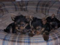 I have AKC puppies that are 9 weeks of age. They have