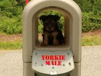 Lovable AKC Yorkie Male Puppy for sale. Born May 19,
