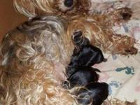 Need to rehome 3 female and 2 male yorkies Born