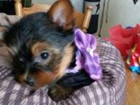 8 week old Yorkie puppies ready just in time for